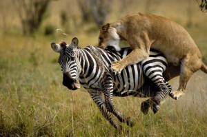 lioness attacking zebra